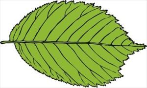 bi-serrate-leaf