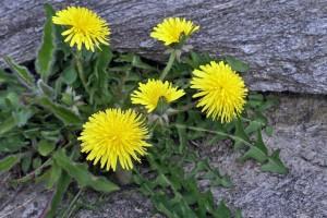 dandelions-940x626