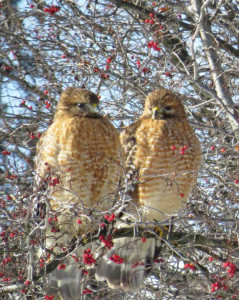 hawks_gorney_cropped